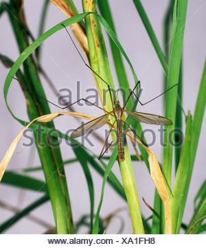Crane fly Tipula oleracea on grass - Stock Photo