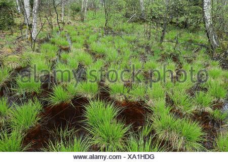 Birkenwald, Seggen (Carex) Bannwald, Schutzwald, Waldschutzgebiet, Moorwasser, Pfrunger-Burgweiler Ried, Baden-Wuerttemberg, Deutschland - Stock Photo