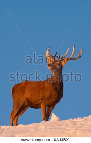 red deer (Cervus elaphus), stag in winter in the evening light, Austria, Vorarlberg - Stock Photo
