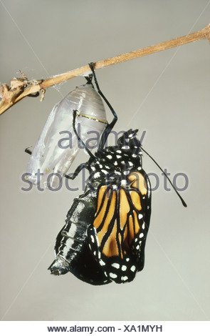 Mexico Monarch butterfly chrysalis shell Danaus plexippus - Stock Photo