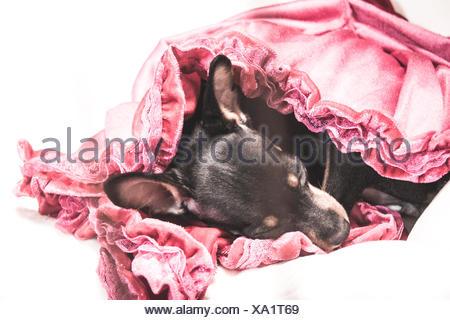 Close-Up Of Dog Sleeping On Fabric Against White Background - Stock Photo