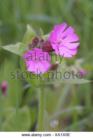red campion (Silene dioica), flowering - Stock Photo