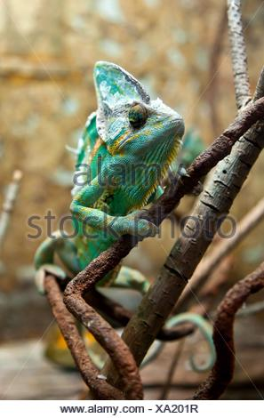 Green chameleon on a branch of a plant. - Stock Photo