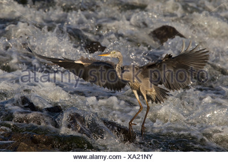 grey heron (Ardea cinerea), fishing in a creek, Germany, North Rhine-Westphalia, Muensterland - Stock Photo