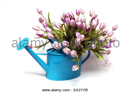 bouquet of tulips in turquoise watering can - Stock Photo