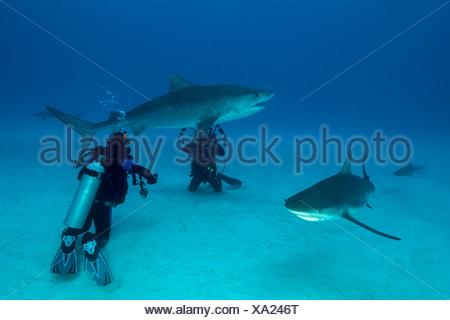 Tiger Shark and Scuba Diver, Galeocerdo cuvier, Caribbean, Bahamas