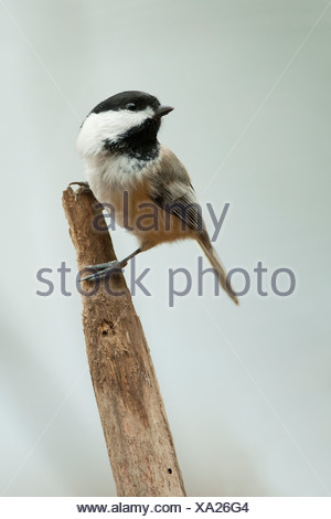 Black-capped chickadee perched on a branch, Ontario, Canada - Stock Photo