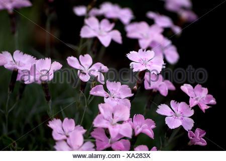 pinks macro - Stock Photo