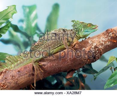 plumed basilisk / Basiliscus plumifrons - Stock Photo