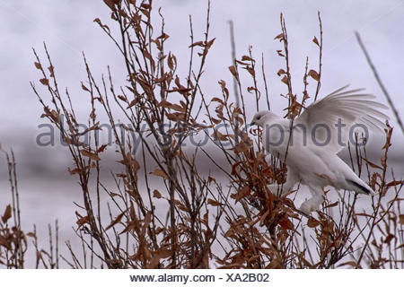 A willow ptarmigan in the snow, tundra and willows of Northern Canada. The Ptarmigan are camouflage adapters, changing white in the winter and a brownish red in the summer and fall. - Stock Photo