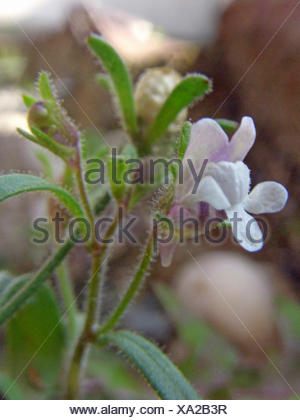 small toadflax, common dwarf snapdragon (Chaenorhinum minus, Chaenarhinum minus), bloomimg, Germany - Stock Photo