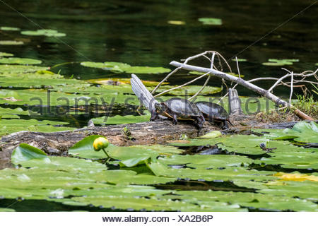 Midland Painted Turtles (Chrysemys picta marginata) sunning in the Pinery Provincial Park, Ontario, Canada - Stock Photo