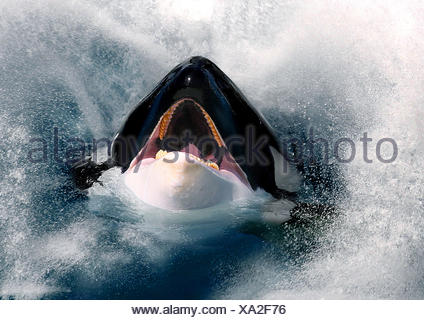 orca, great killer whale, grampus (Orcinus orca), hesd with open mouth looking out of the sea - Stock Photo