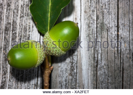 Two green acorns - Stock Photo