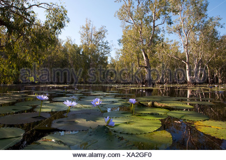 Mangrove forest in water with Lotus flowers - Stock Photo