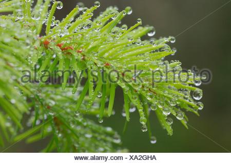 USA, Oregon, Dew drops on twig, close-up - Stock Photo