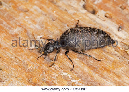 Blister beetle, Oil beetle (Meloe spec., Eurymeloe spec.), on deadwood, France, Corsica - Stock Photo