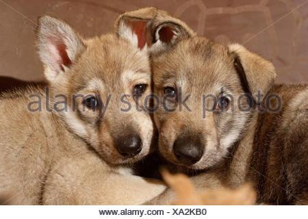 Saarloos wolfdog, pup, Germany - Stock Photo