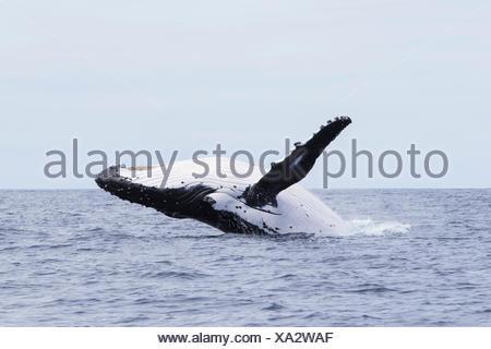 Humpback whale breaching, Tonga, South Pacific - Stock Photo