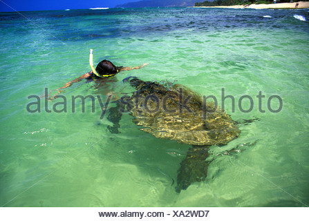 Hawaiian green sea turtles, Chelonia mydas, come face to face with visitors to Laniakea beach on Oahu's north shore. Feeding - Stock Photo