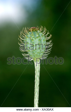 ROUGH POPPY Papaver hybridum (Papaveraceae) - Stock Photo
