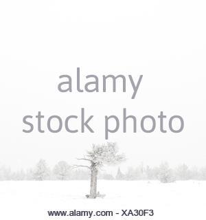 USA, Wyoming, Albany County, Laramie, Tree in snow covered landscape - Stock Photo