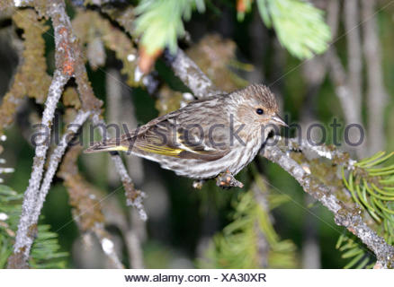 Pine Siskin - Spinus pinus - Stock Photo