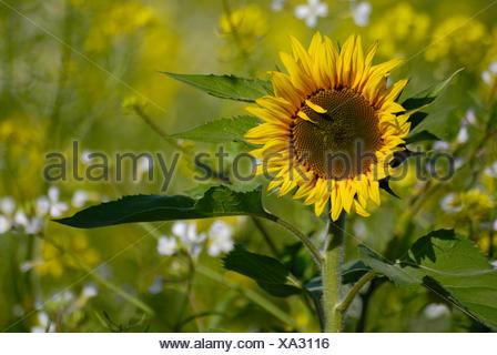 sunflower ii - Stock Photo