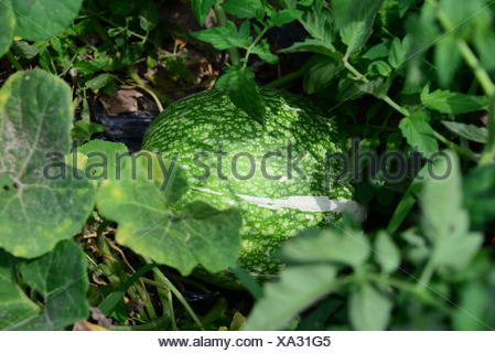 watermelon on the field in spain - Stock Photo