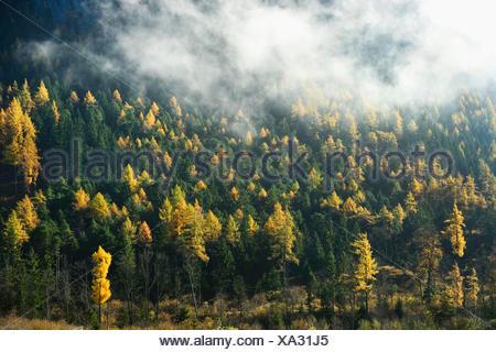common larch, European larch (Larix decidua, Larix europaea), mixed forest with larches in autumn, Austria, Styria - Stock Photo