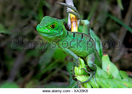 green basilisk, plumed basilisk, double-crested basilisk (Basiliscus plumifrons), hanging at a branch, Costa Rica - Stock Photo