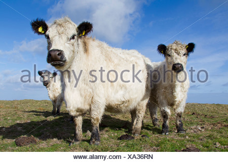 Domestic Cattle, White Galloway. Cow and calves on a pasture - Stock Photo