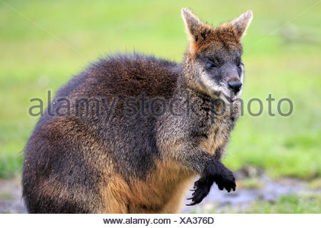 Bennett's wallaby, (Macropus rufogriseus) - Stock Photo