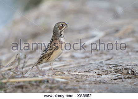 Chestnut-eared Bunting (Emberiza fucata) adult male breeding plumage with unopened seed in beak standing on ground Hong Kong - Stock Photo