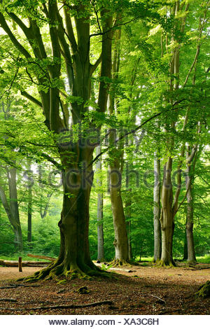 Old gigantic beeches in a former wood pasture (pastoral forest), Sababurg, Northern Hessen, Hesse, Germany - Stock Photo