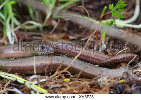 European slow worm, blindworm, slow worm (Anguis fragilis), on the ground, Austria, Tyrol - Stock Photo