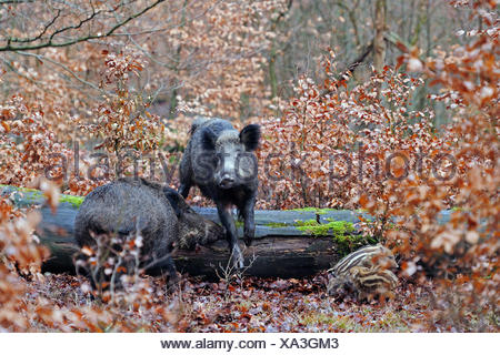 wild boar, pig, wild boar (Sus scrofa), wild sows with shoats, Germany, North Rhine-Westphalia - Stock Photo