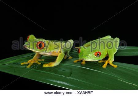 Red Eyed Tree Frog, agalychnis callidryas, Adults on Leaf - Stock Photo
