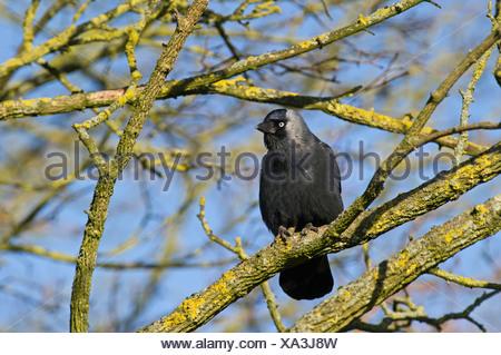Jackdaw Corvus monedula Norfolk winter - Stock Photo