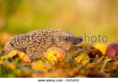 Western hedgehog, European hedgehog (Erinaceus europaeus), searching food in a meadow, Germany, Rhineland-Palatinate - Stock Photo