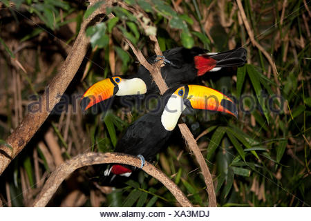 TOCO TOUCAN ramphastos toco, PAIR ON BRANCH - Stock Photo