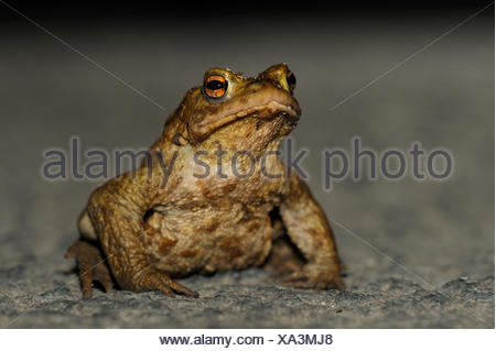 Common toad, male, Bottrop, Germany / (Bufo bufo) - Stock Photo