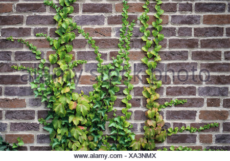 Common Ivy (Hedera helix) and Japanese Ivy (Parthenocissus tricuspidata) growing on a brick wall - Stock Photo