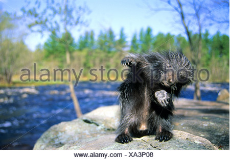 A month-old baby porcupine Erethizon dorsatum) scratches its itchy skin.  Eastern USA. - Stock Photo