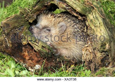 Hedgehog (Erinaceus europaeus) in old tree stump, Allgäu, Bavaria, Germany - Stock Photo