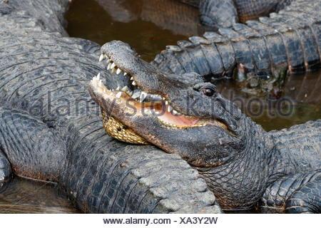 An American alligator, Alligator mississippiensis. - Stock Photo