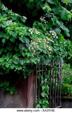 Teller-Hortensie mit Gartentor, Tellerhortensie / (Hydrangea serrata) - Stock Photo