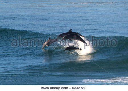 Dolphins leaping out of ocean - Stock Photo
