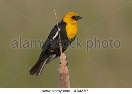 Yellow-headed blackbird (Xanthocephalus xanthocephalus) perched on bullrush, Moses Lake area, Washington, USA - Stock Photo