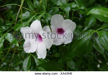 Close-Up Of Pandorea Jasminoides Blooming Outdoors Stock Photo